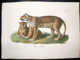 Schinz 1845 Antique Hand Col Print. Tiger 24